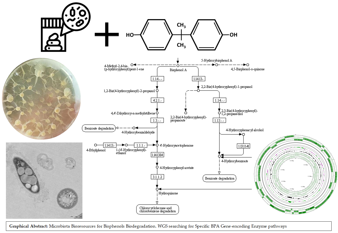 Microorganisms for BPA degradation with inulinase activity