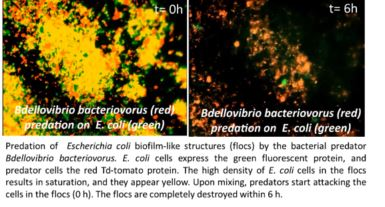 Biological Control of Biofilms With Carriers Encapsulating Microbial Predators