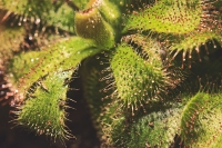 Improving stem cell culture using carnivorous plants